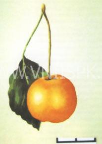 Янтарка алтайская