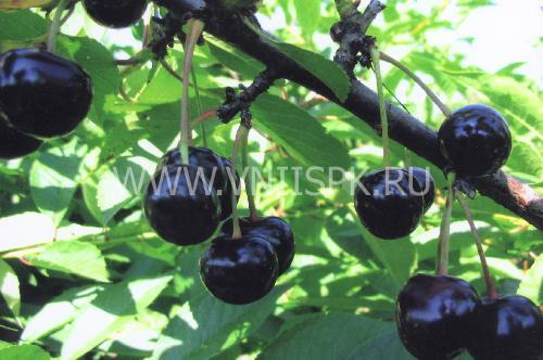Россошанская чёрная