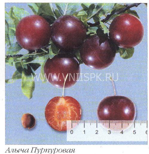 Пурпуровая