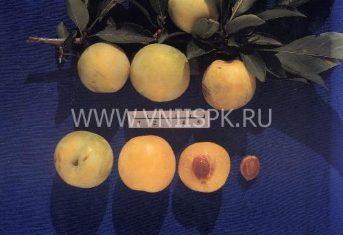 Хабаровская желтая