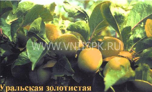 Уральская золотистая