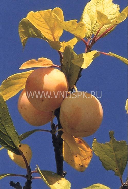 Ренклод куйбышевский