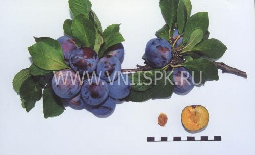 Ренклод советский
