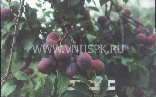 Ренклод теньковский
