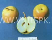 Яблоковидная