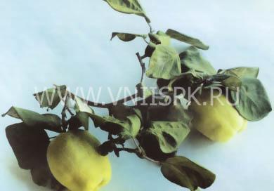 Буйнакская крупноплодная