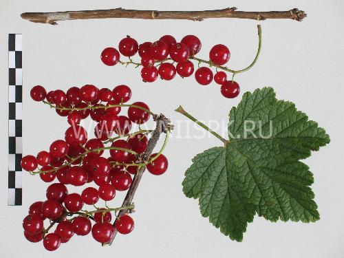 Красная Андрейченко