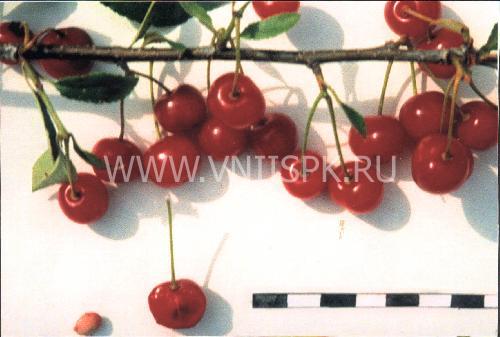 Болотовская