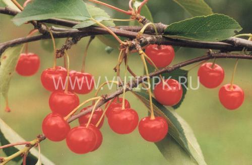 Рубиновая (Вишня степная)