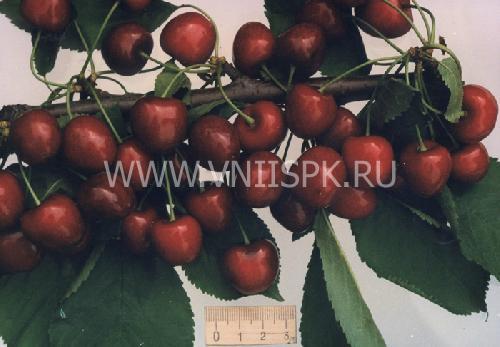 Мелитопольская чёрная